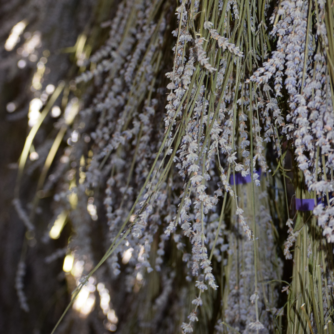 Grosso Lavender bundles drying.