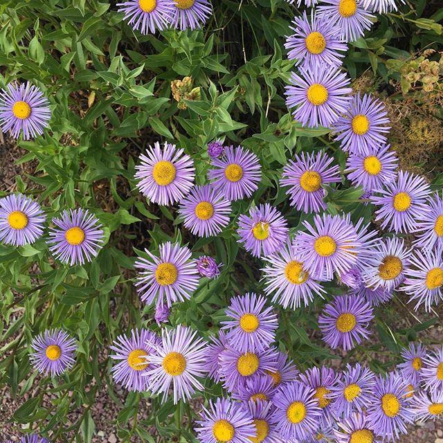 Montana wildflowers. #glaciernationalpark