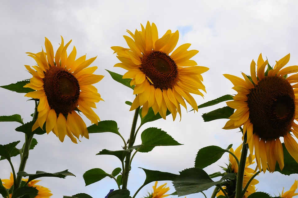 sunflower-2646487_960_720.jpg