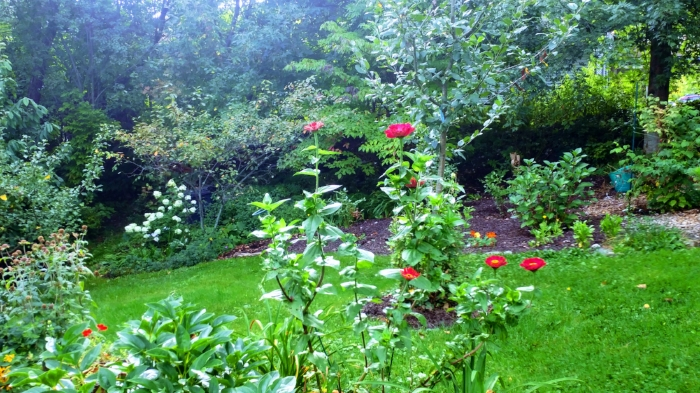 """The zinnias in my backyard received a recent growth spurt. They almost reach my neck at 5'5""""."""