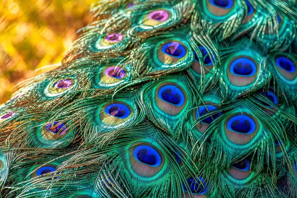 peacock-3465442_960_720.jpg