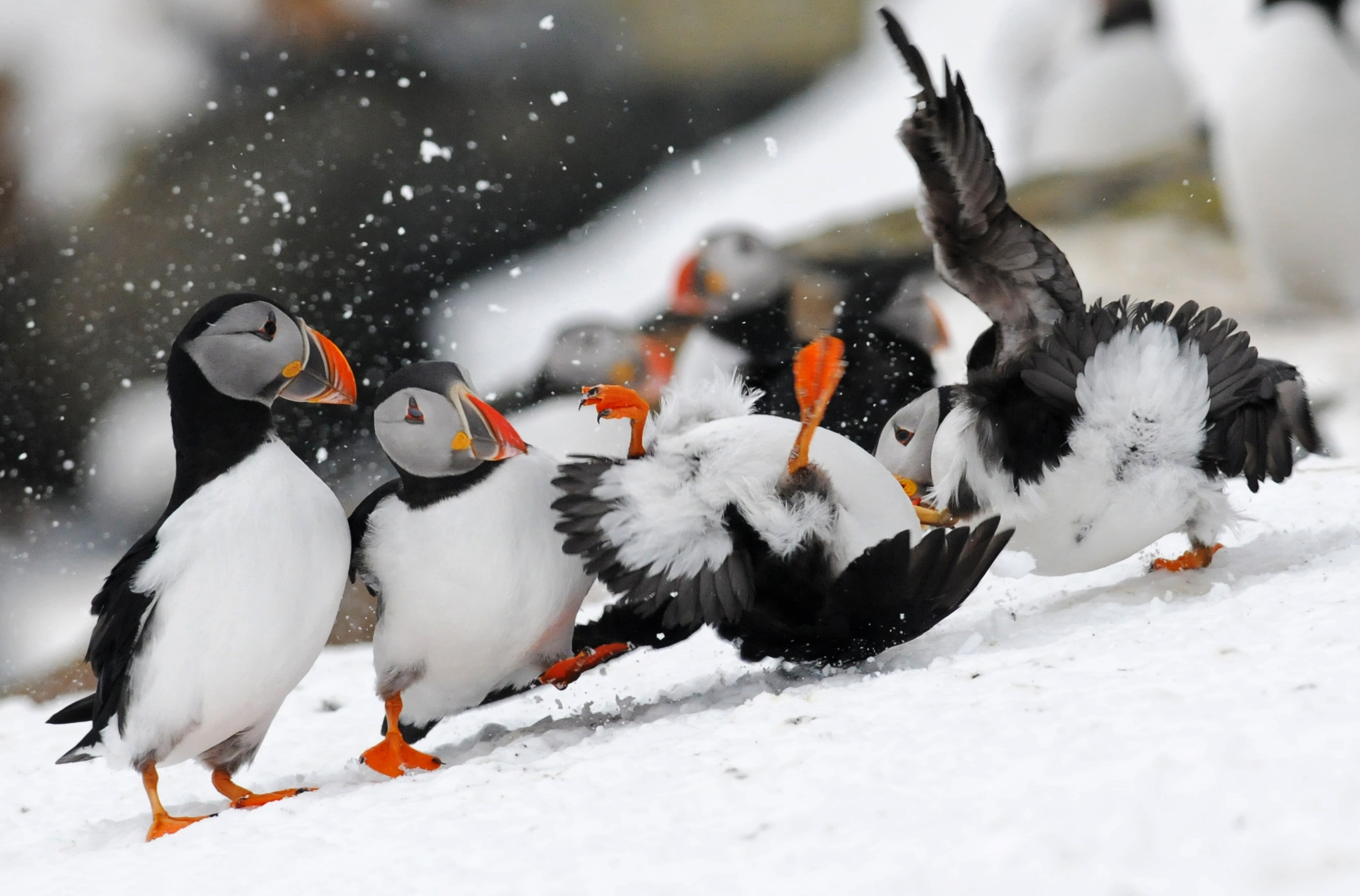 Puffin fight club - spectacle of Hornøya, a home to 100.000 seabirds