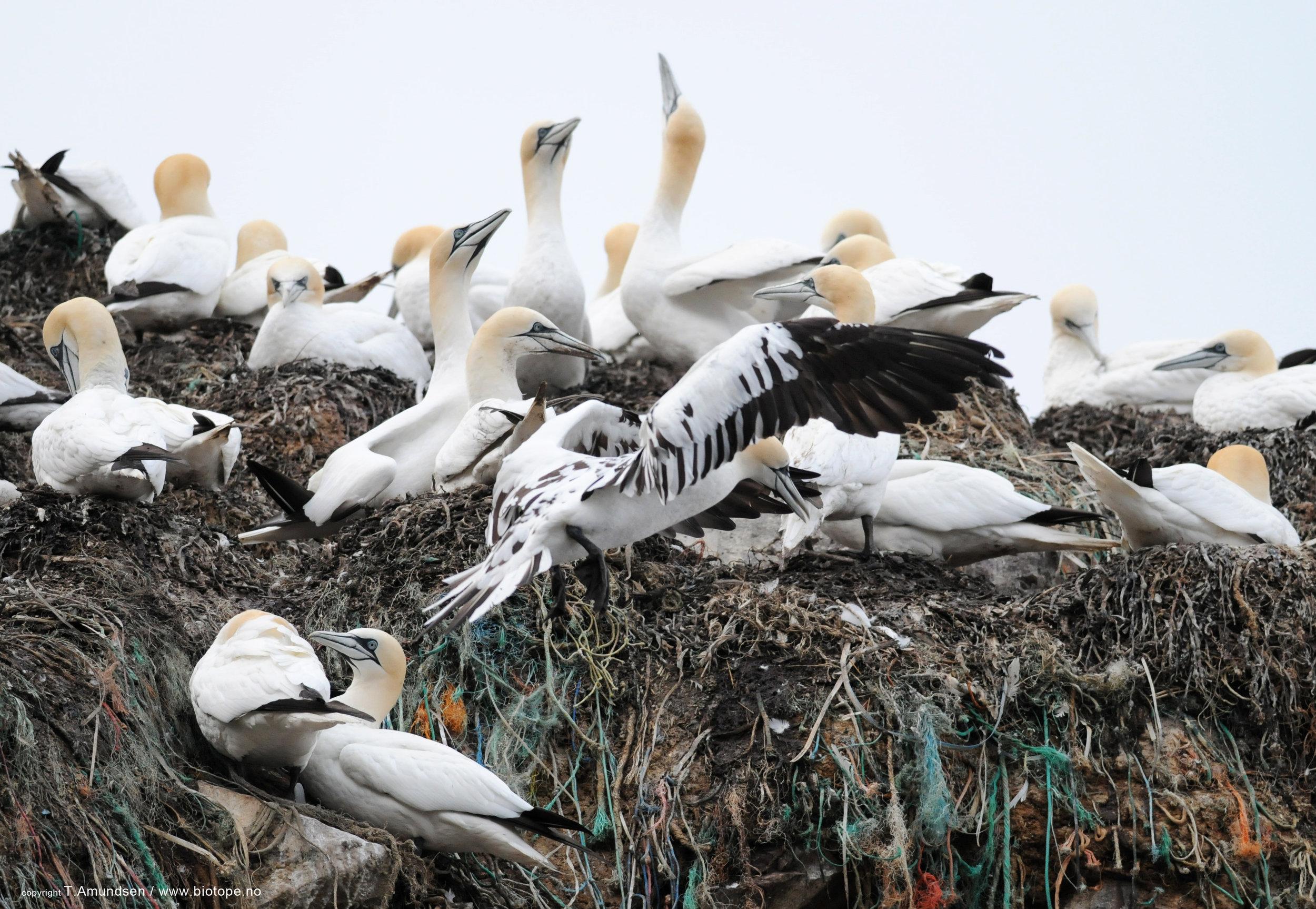 Gannets on the Syltefjordstauran