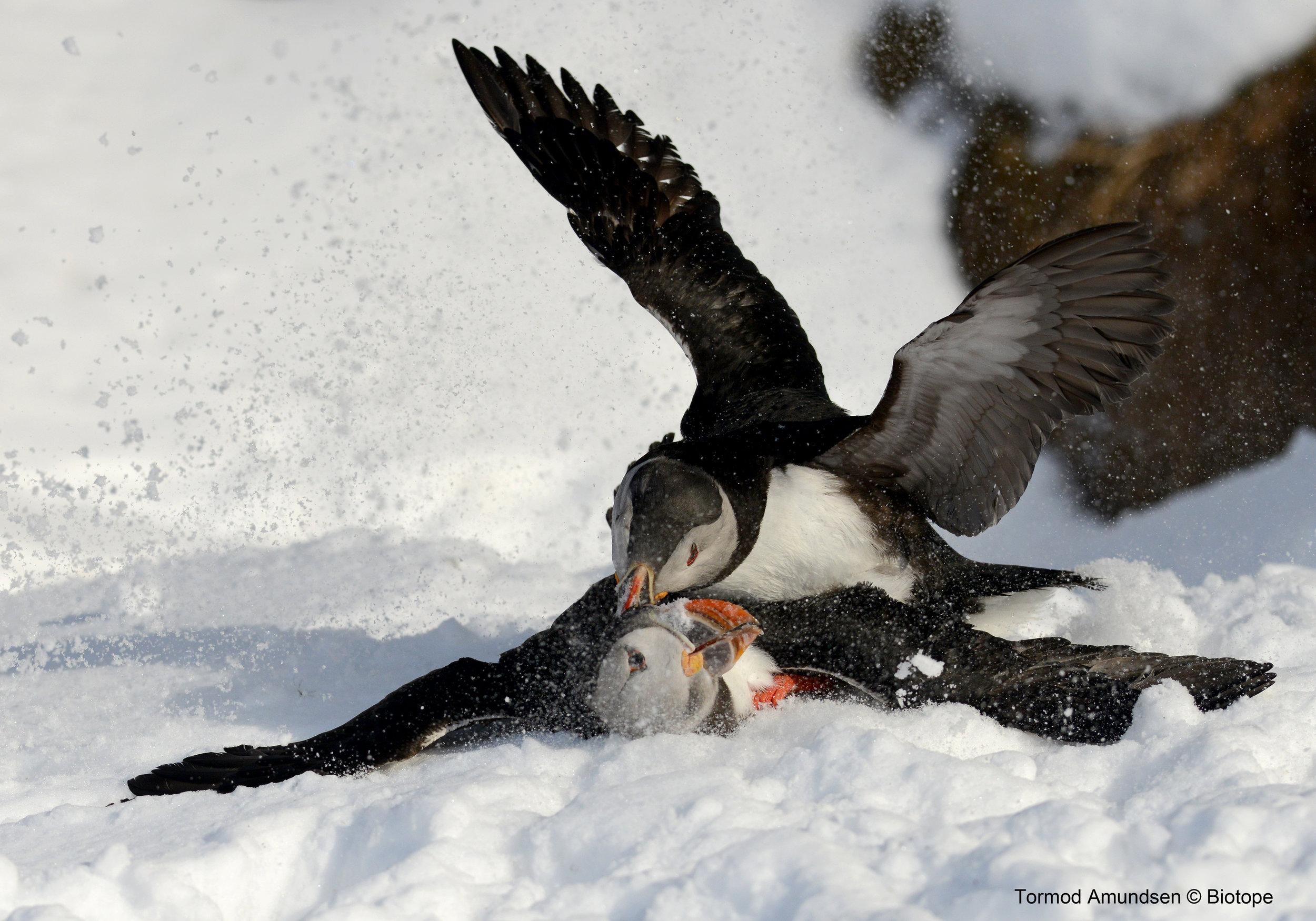 Puffin fight Hornøya Varanger copyright Biotope
