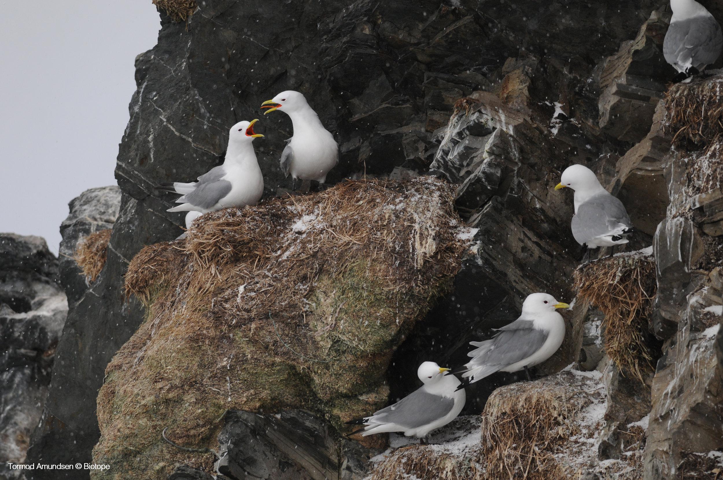 Kittiwakes Hornøya Varanger copyright Biotope
