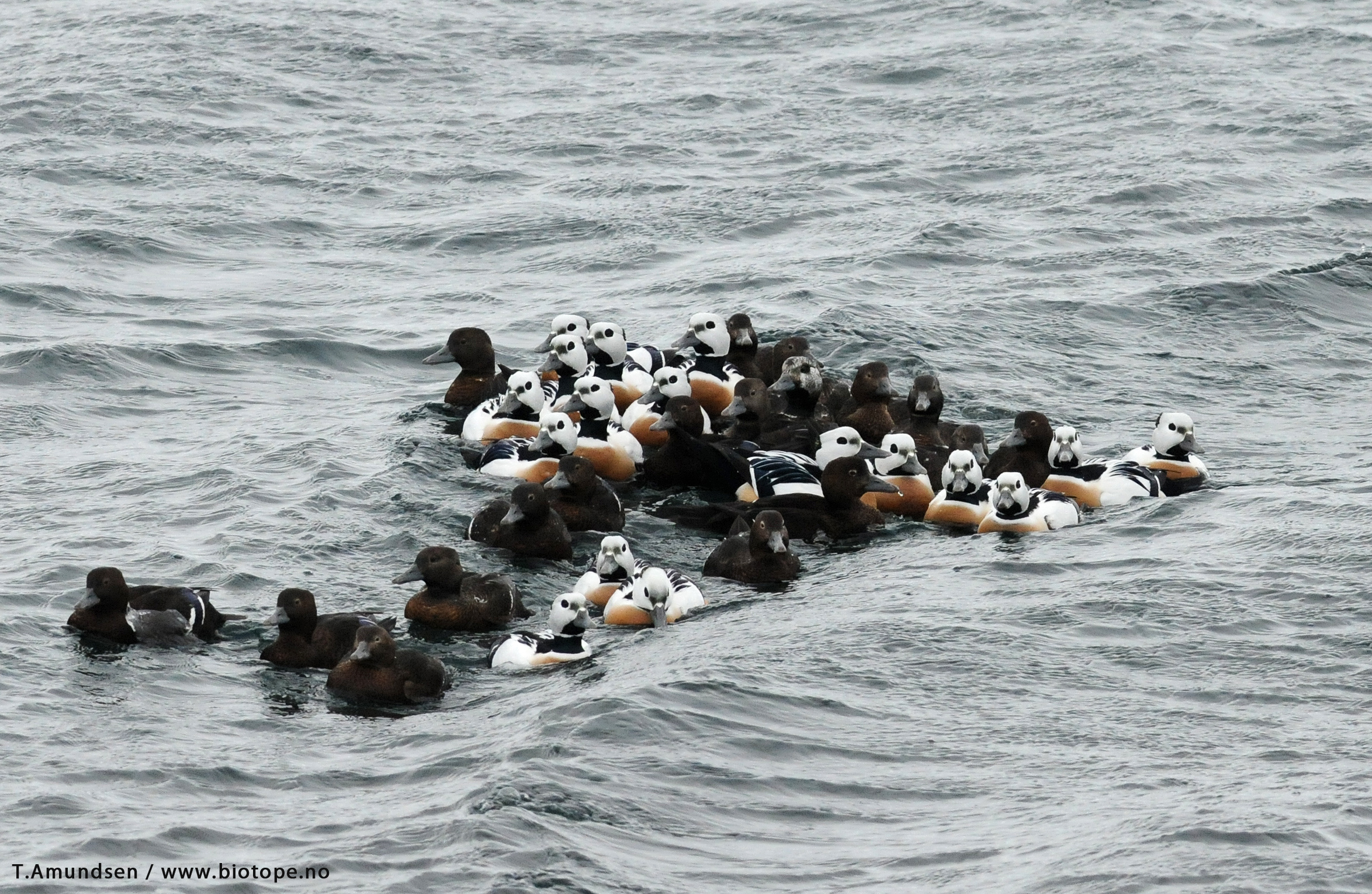 Flock of Steller's Eiders