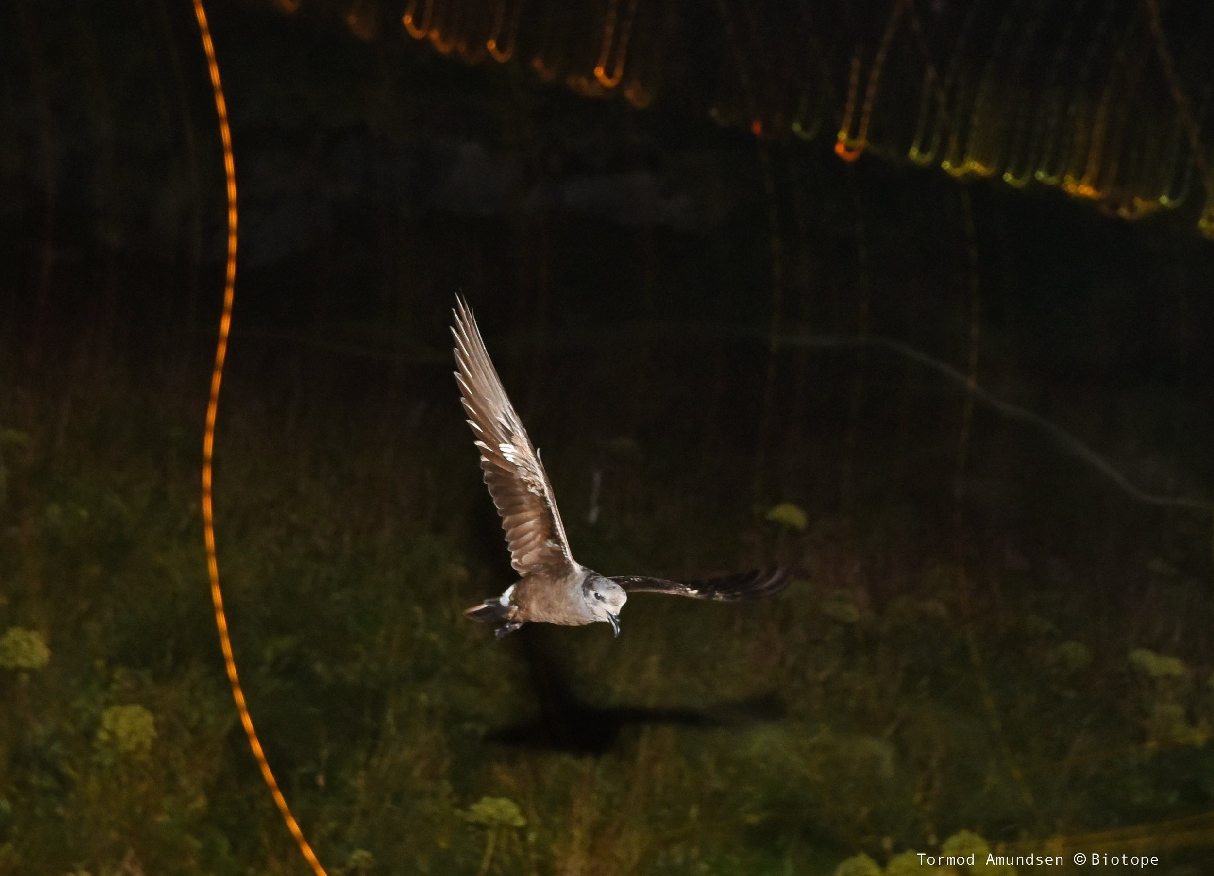 Leach´s Storm Petrel on Hornøya in september