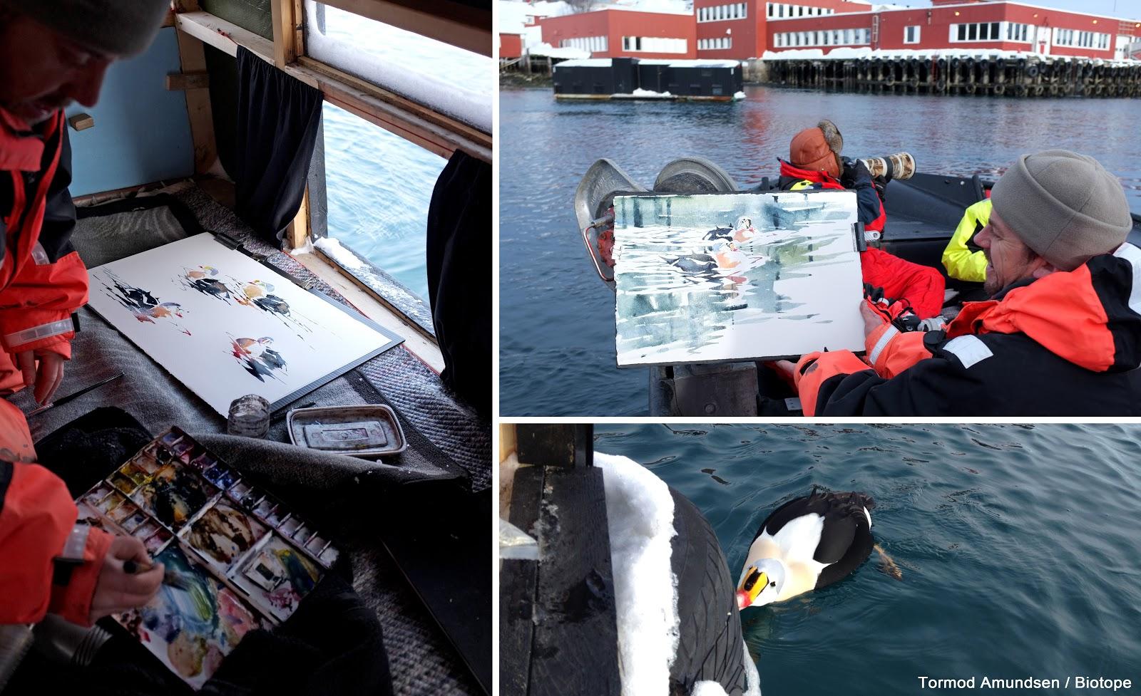 Gullfest2013 king eider hide båtsfjord Amundsen Biotope.jpg