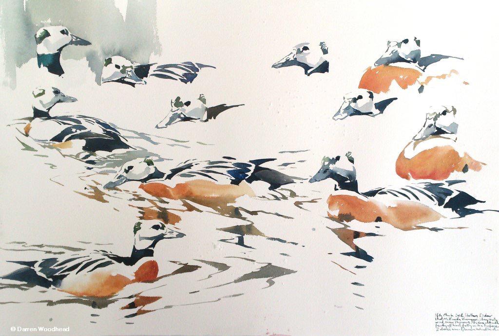 Stellers Eiders study by artist © Darren Woodhead IMG_2394 Gullfest 2016.jpg
