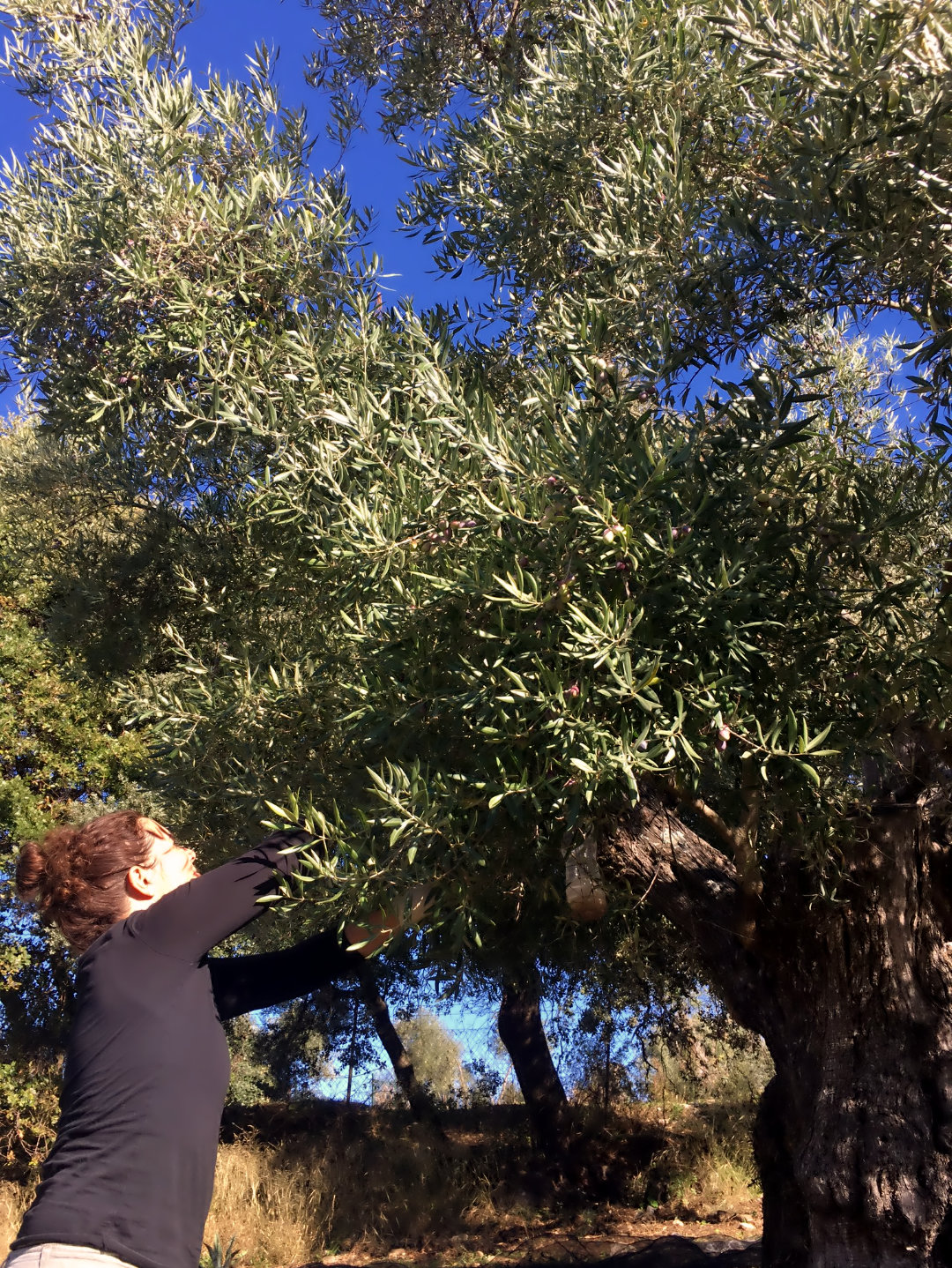 Stroking olives from the trees in our luxury villa rental in Ronda, Andalucia, Spain