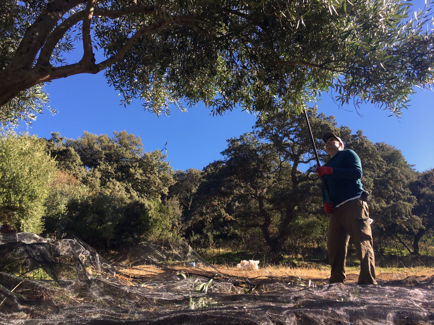 Olive harvesting at our luxury villa rental in Ronda, Andalucia, Spain