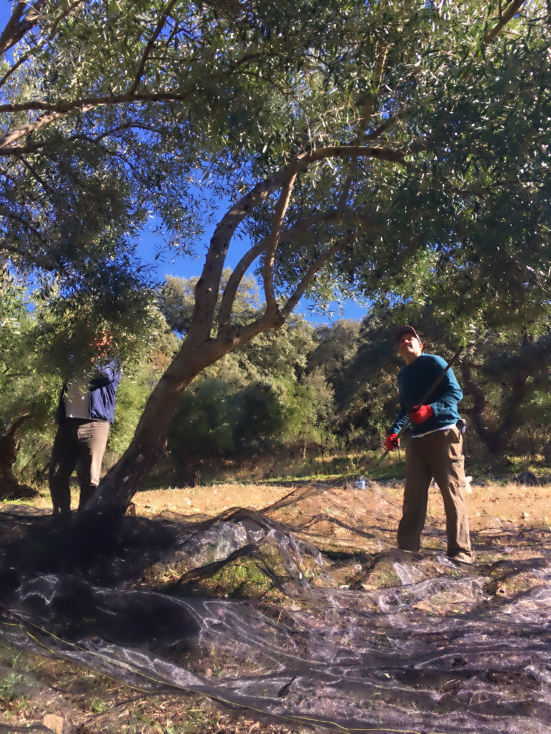 Thrashing the olive trees at our luxury holiday home near Ronda, Andalucia