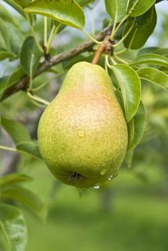 Pears_growing_at_luxury_villa_rental_Ronda_Andalucia_Spain