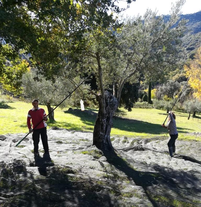 olive_harvest_ronda_spain