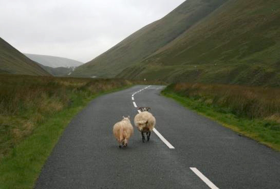 A rainy, gray day in the lowlands of Scotland. A sheep and its buddy. Eventually we'll find our herd if we keep walking.   Fun fact that makes me smile: My first books are historical romances, and my editor at The Wild Rose Press hails from Scotland...and her surname is the descendent of my heroine's name. Ponder that interesting coincidence for a moment!