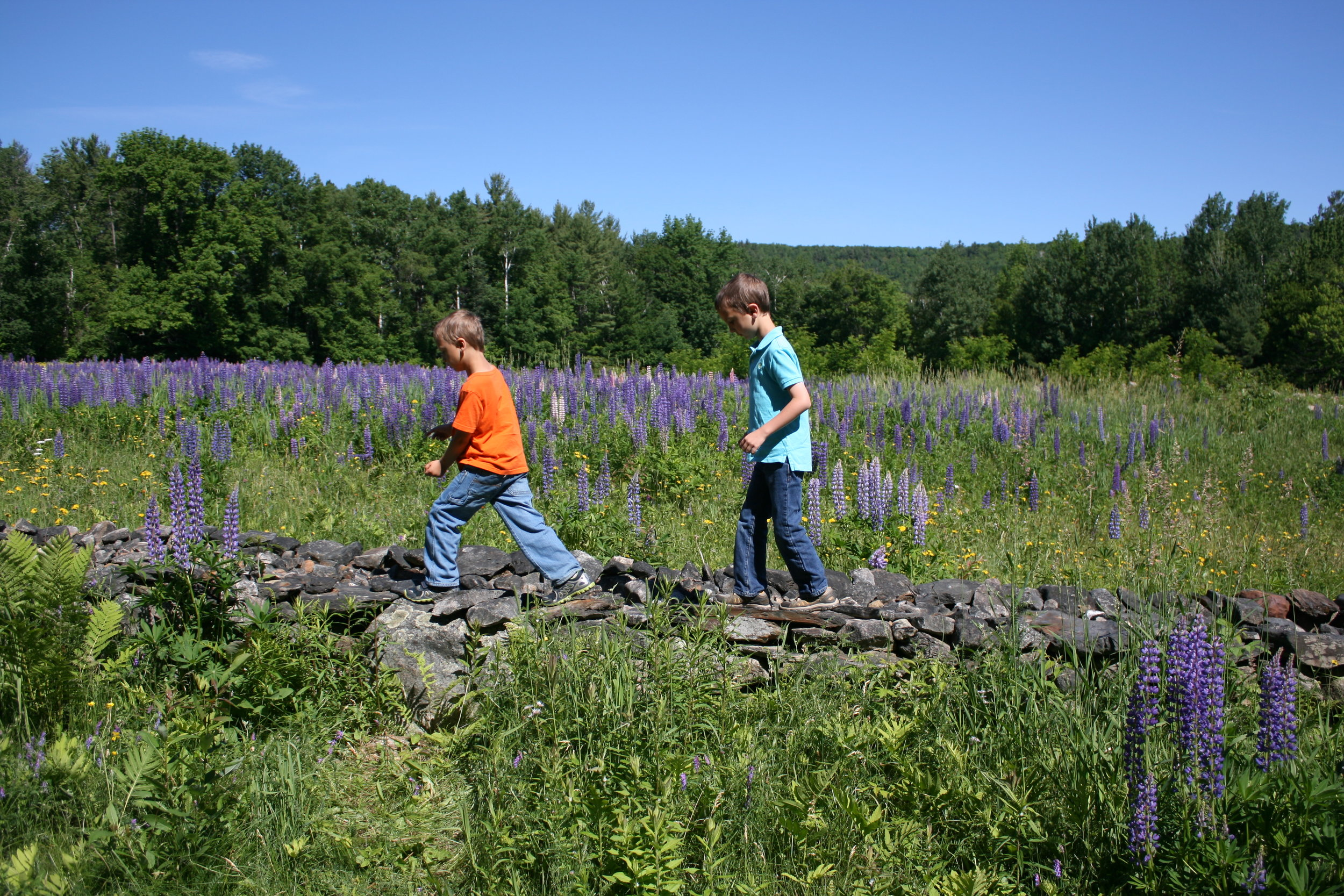 Traipsing through the lupine in NH.