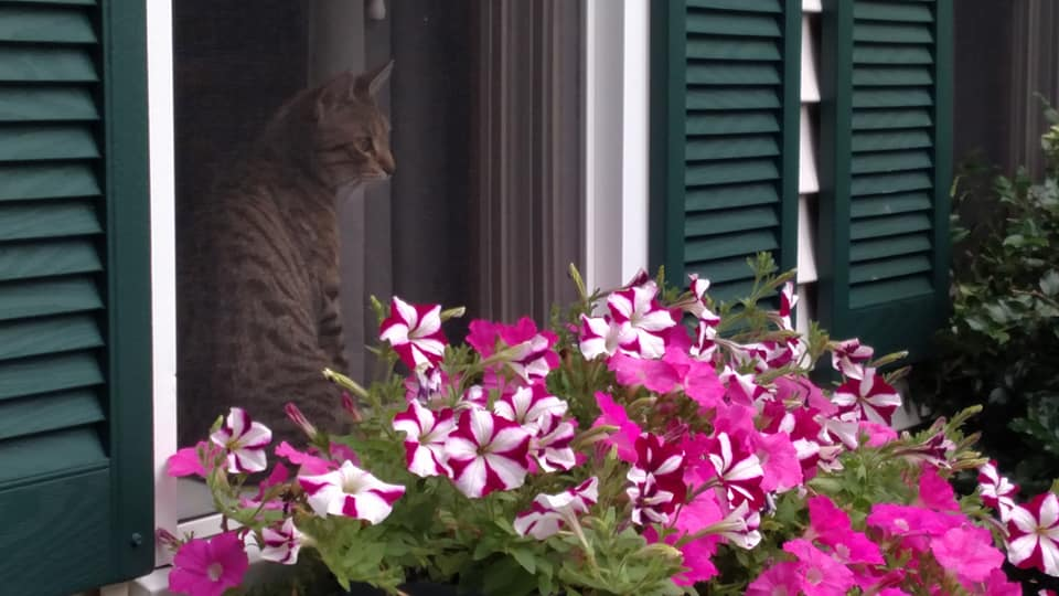 Tres looking out her favorite spot, and over my petunias.