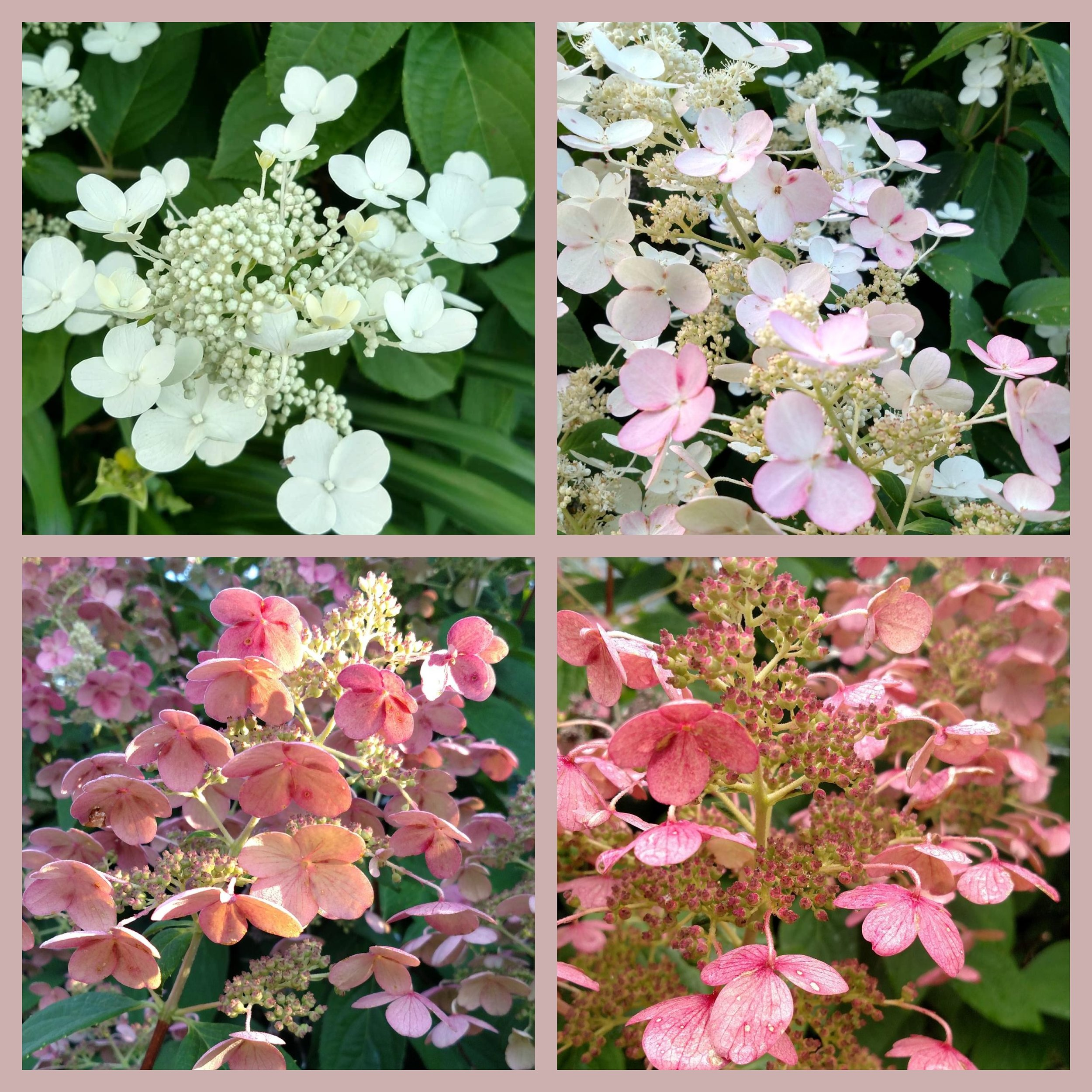 "Spring to Autumn…my hydrangeas change color from white to pale pink to rusty blush. The blooms also grow on ""dead wood,"" meaning I don't prune these gigantic bushes back in the autumn."