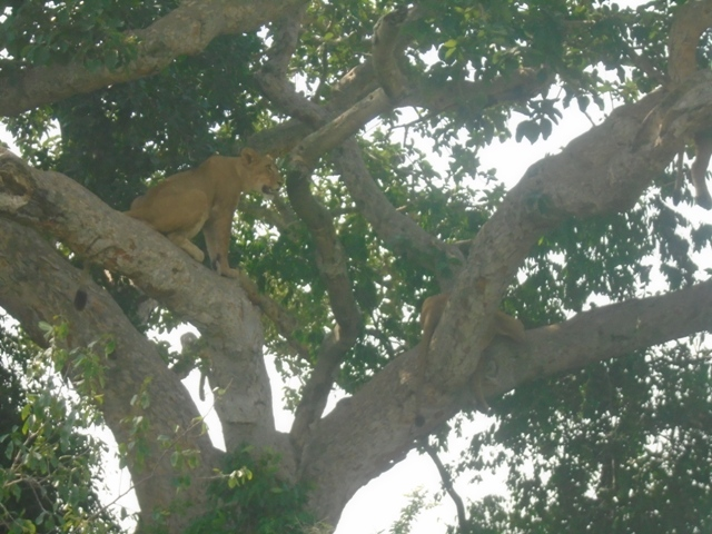 God heard our prayers and all of a sudden the lions were in the tree!