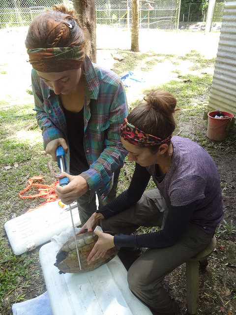 Collecting morphological data and health assessments on all turtles!