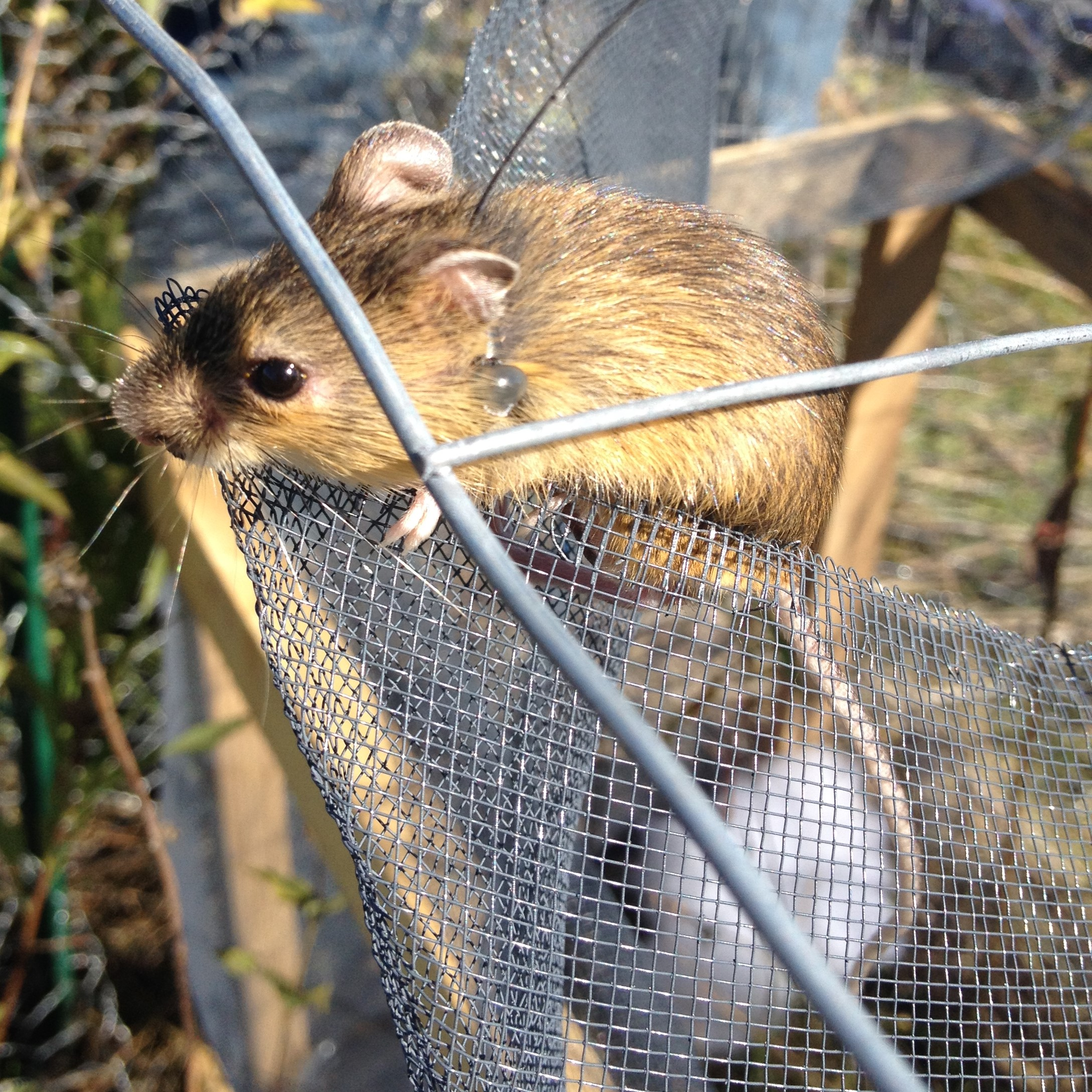 Meadow jumping mouse climbing out of its enclosure after the acclimation period.