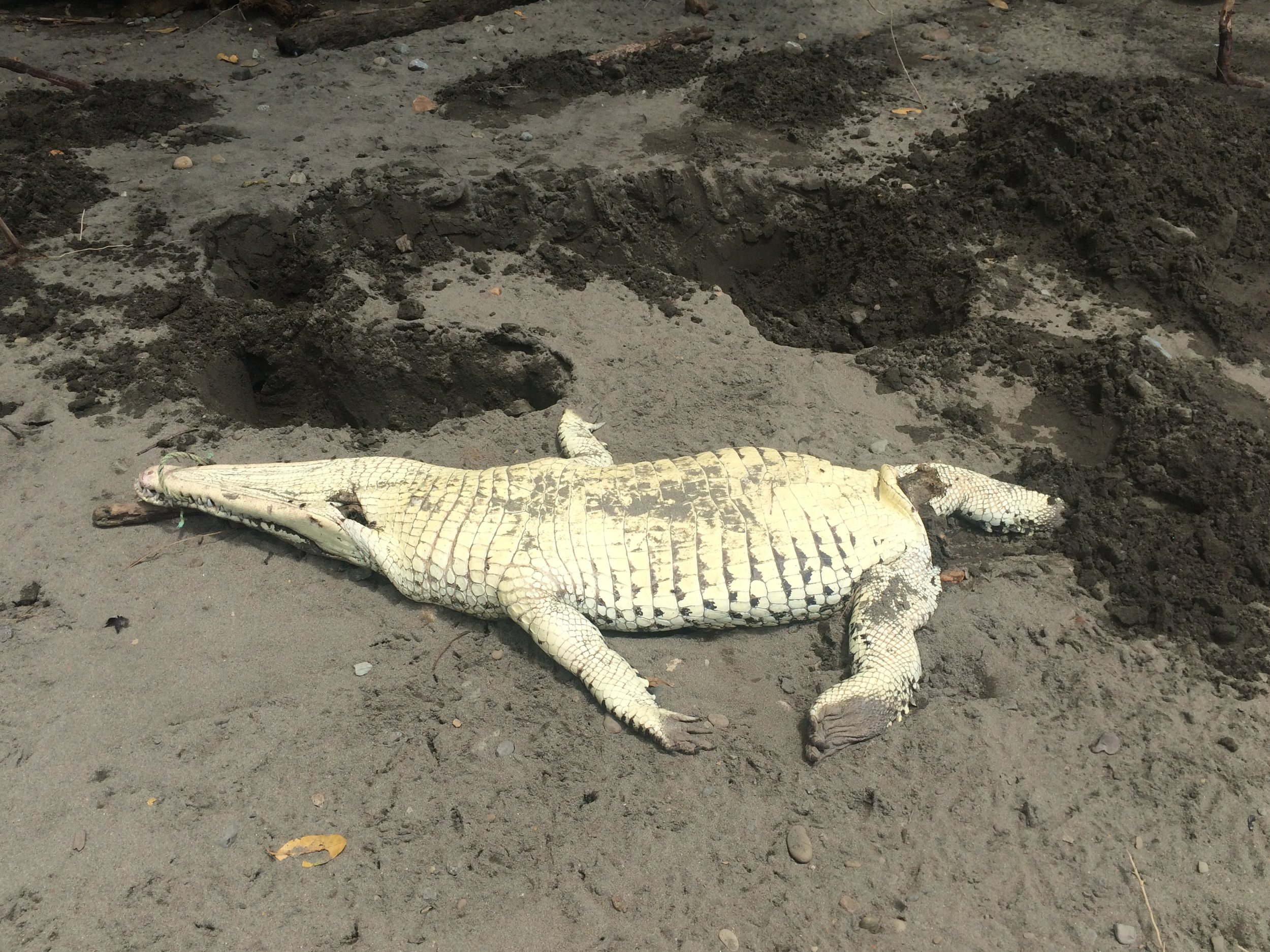 Crocodile found on the beach with a machete gash in its head and the tail removed.