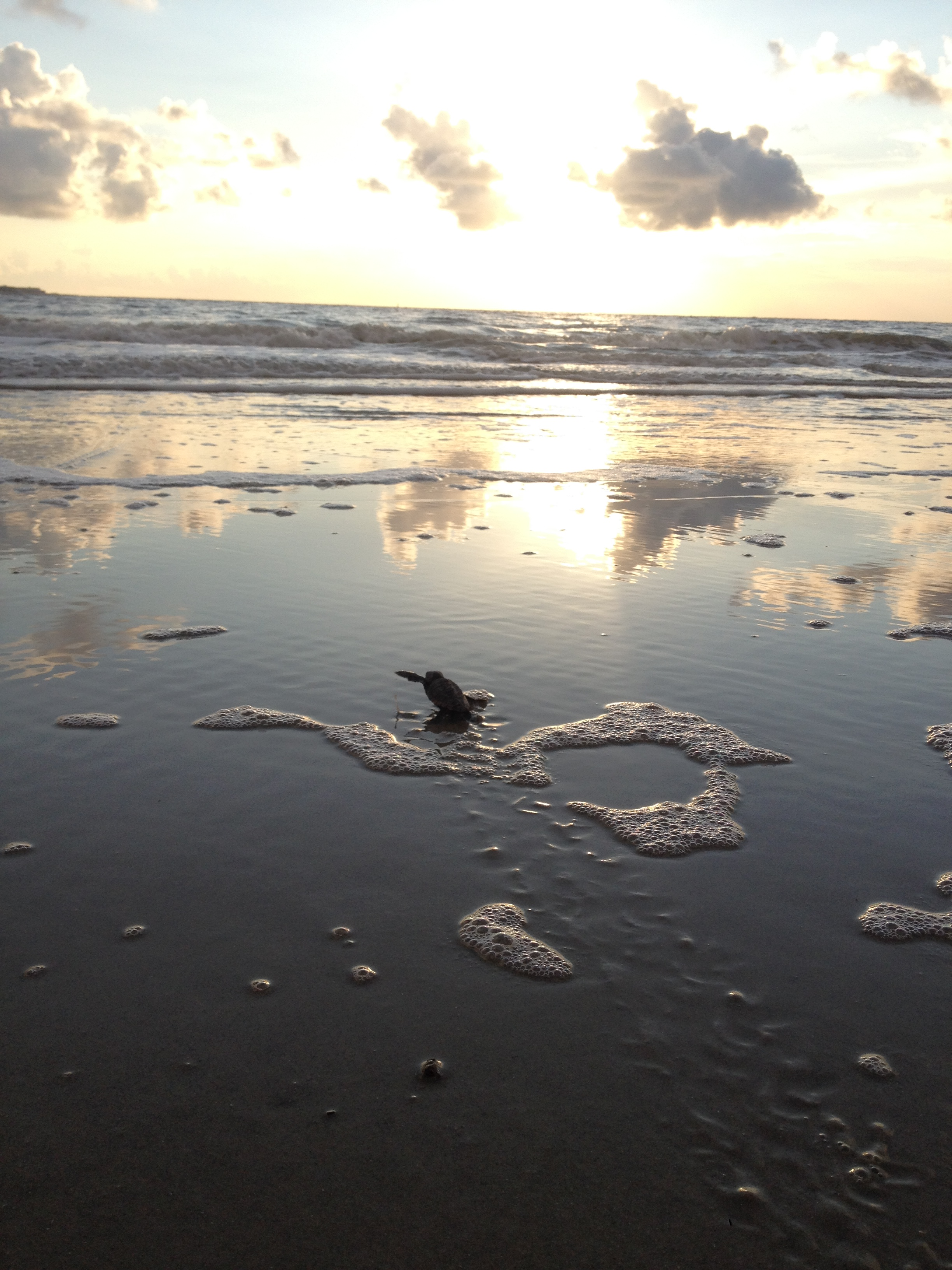 A sea turtle hatchling making its way to the open ocean.
