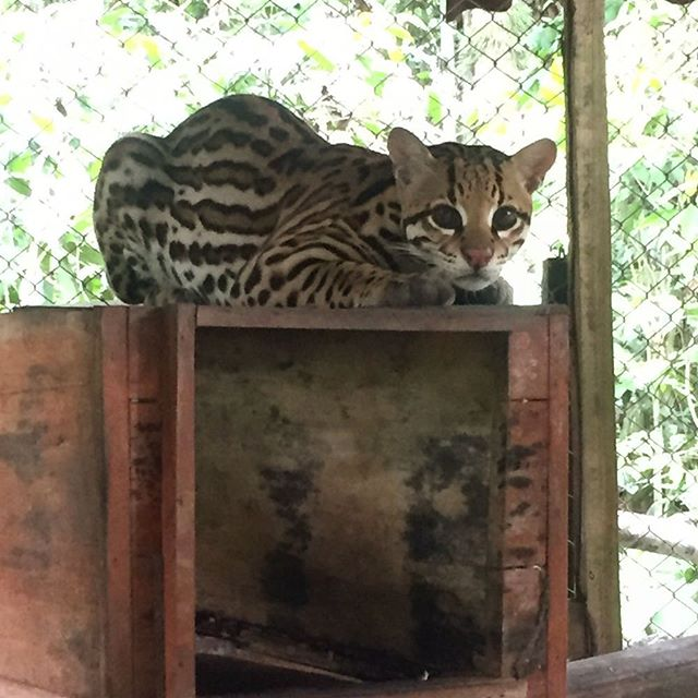 Ocelots are wild cats not pets. This cub was rescued from a house chained up, not receiving adequate care or food. The rescue center is teaching him to hunt and will soon be released in a large reserve. #wildaid #illegalwildlifetrade #wildcats #selva #peru