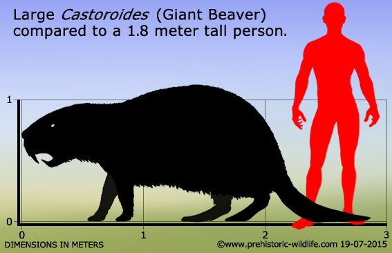 Figure 4: A scaled cartoon showing the size of the largest Giant Beaver, relative to an adult human. Image from  prehistoric-wildlife.com