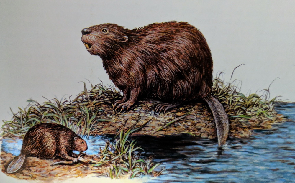 Figure 1: A cartoon illustration that compares the Giant Beaver ( Castoroides ohioensis ) on the top and the modern-day North American Beaver ( Castor canadensis) . Image from the book entitled Ice Age mammals of North America - A Guide to the Big, the Hairy, and the Bizarre, by Ian M. Lange and Illustrated by Dorothy S. Norton, Mountain Press Publishing Co, Montana, 2002, 226p.