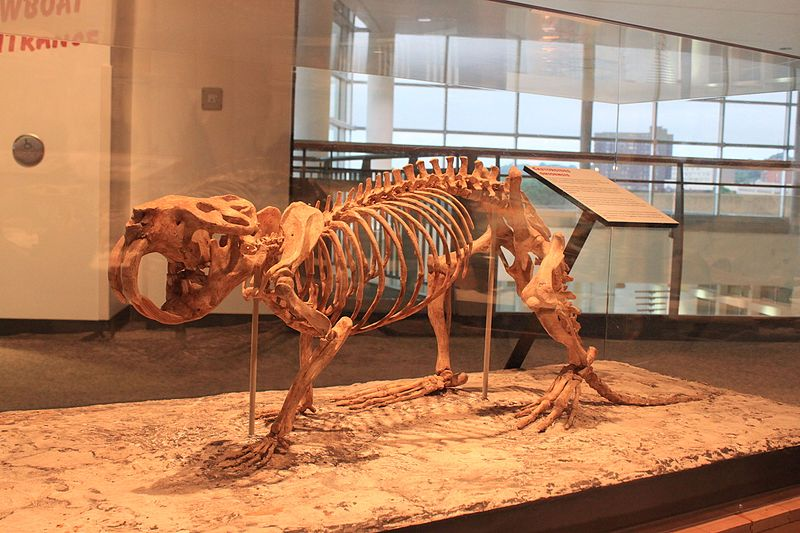 Figure 3: This image was originally photographed at the Minnesota Science Museum: Mississippi River Gallery and posted to Flickr by Ryan Somma at  http://flickr.com/photos/14405058@N08/7322608522 . Image granted Creative Commons Licensed photo by  ideonexus.com and appears on wikimedia: https://commons.wikimedia.org/wiki/File:Giant_Pleistocene_Beaver,_Castoroides_ohioensis.jpg