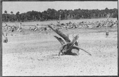 Photo from George Nelson Collection           The Island has weathered many stages of vegetation loss over the years.