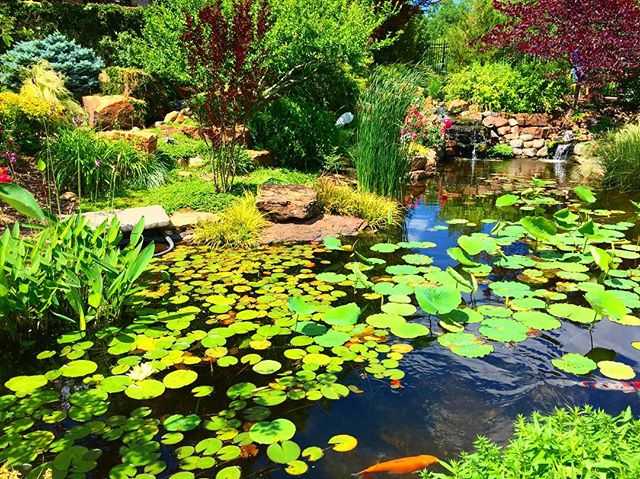 Don't be so koi.🌿#travel #garden #landscaping #landscape #nature #green #plants #explore #instagood #instamood #horticulture #botanical #landscapephotography #theoutbound #workhard #playhard #view #instadaily #trip #tulsa #tulsatime #botanicalgardens #tour #inspiration #botany #botanist #koi #pond #lily #water