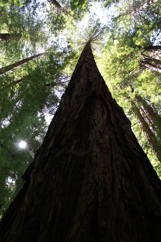 california coast redwoods 3.jpg