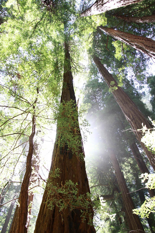 california coast redwoods 4.jpg