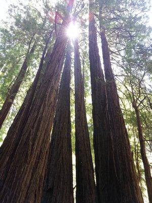 california coast redwoods.jpg