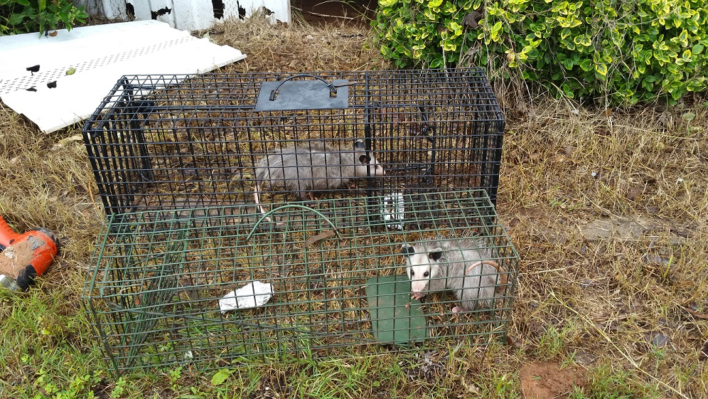 These two Opossums were living under this home and causing damage to HVAC ducting. We can remove these animals for you!