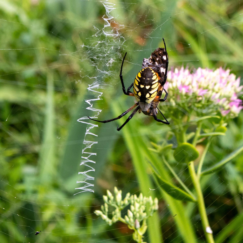 Yellow garden spider eating monarch butterfly    Rachel Loewens