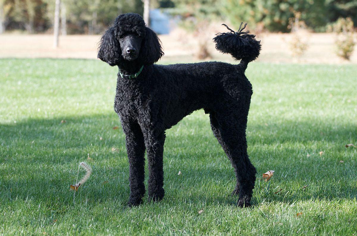 Black Poodle.jpg