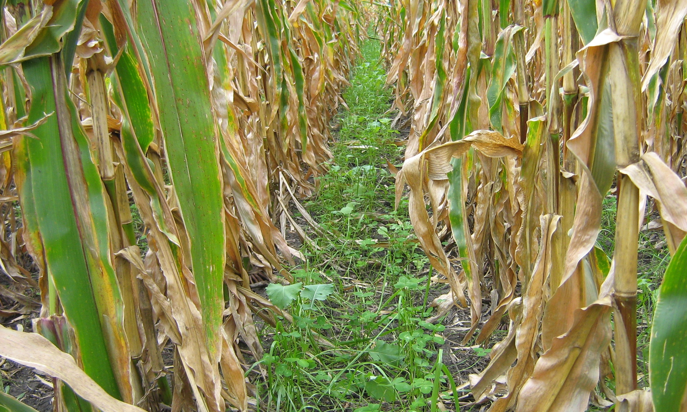 The cover crop growing between these corn rows is helping cut down on soil erosion and adding natural organic matter to the soil.