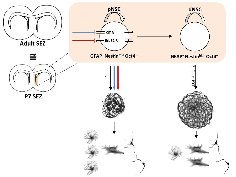 - Targeted activation of primitive neural stem cells in the mouse brain.Rachel L. Reeve,Samantha Z. Yammine, Brian DeVeale, and Derek van der Kooy.European Journal of Neuroscience
