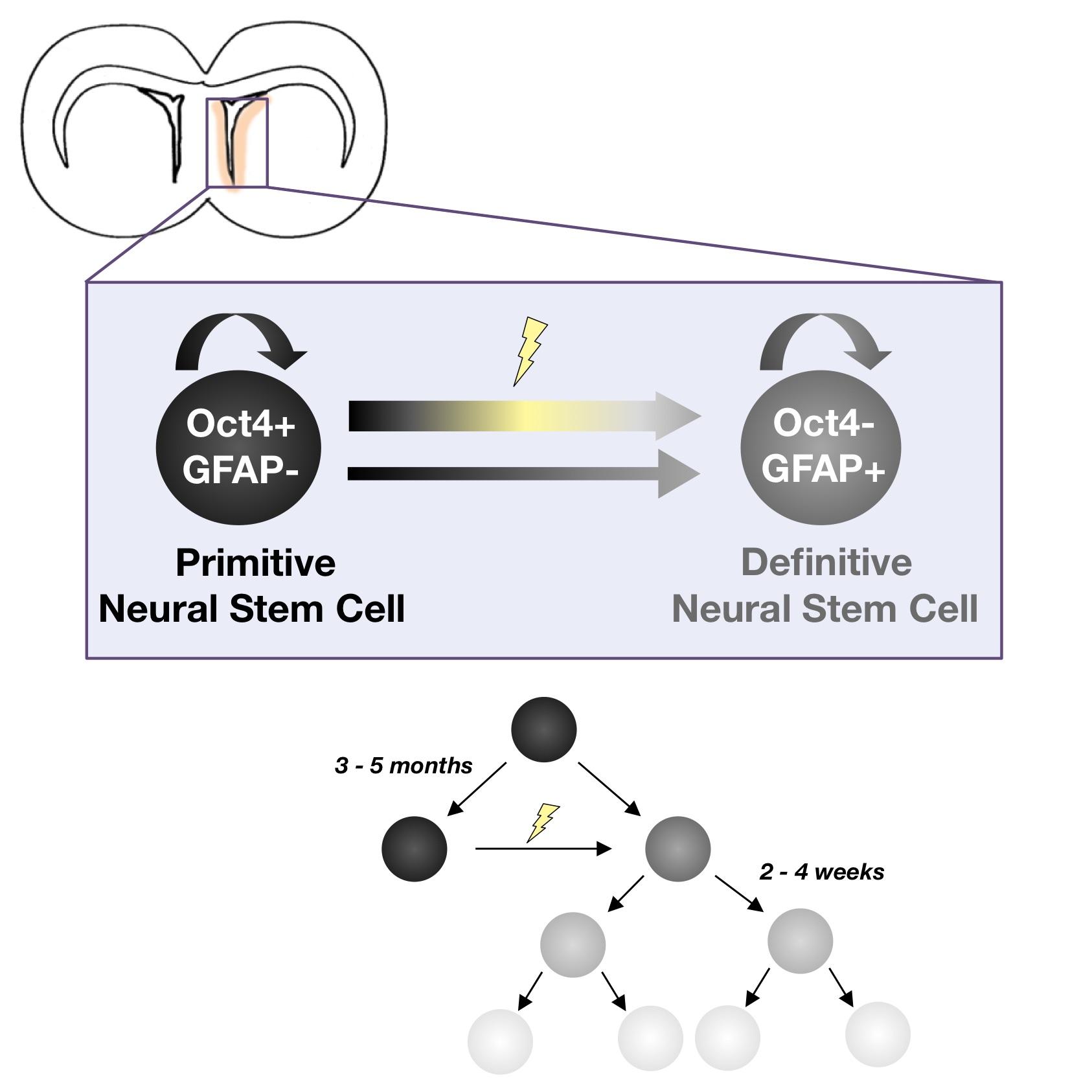 Quiescent Oct4+ Neural Stem Cells (NSCs) Repopulate Ablated Glial Fibrillary Acidic Protein+ NSCs in the Adult Mouse Brain - Rachel L. Reeve, Samantha Z. Yammine, Cindi M. Morshead, Derek van der Kooy.Stem Cells