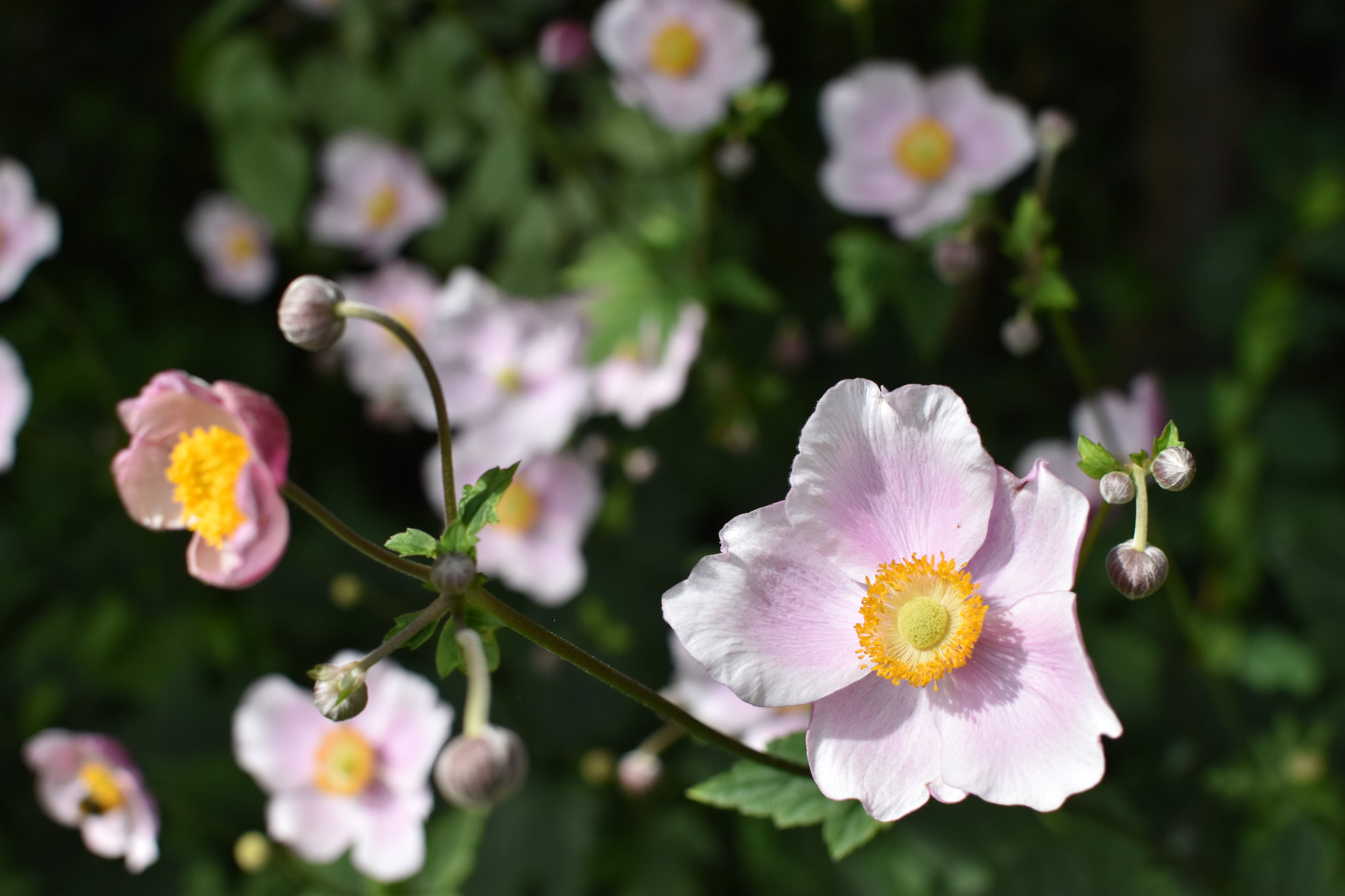 Höstanemoner i vår trädgård. Definitivt en ny favorit för mig. Dessutom blommar de hur länge som helst, även om man plockar en bukett och tar in. Me like!