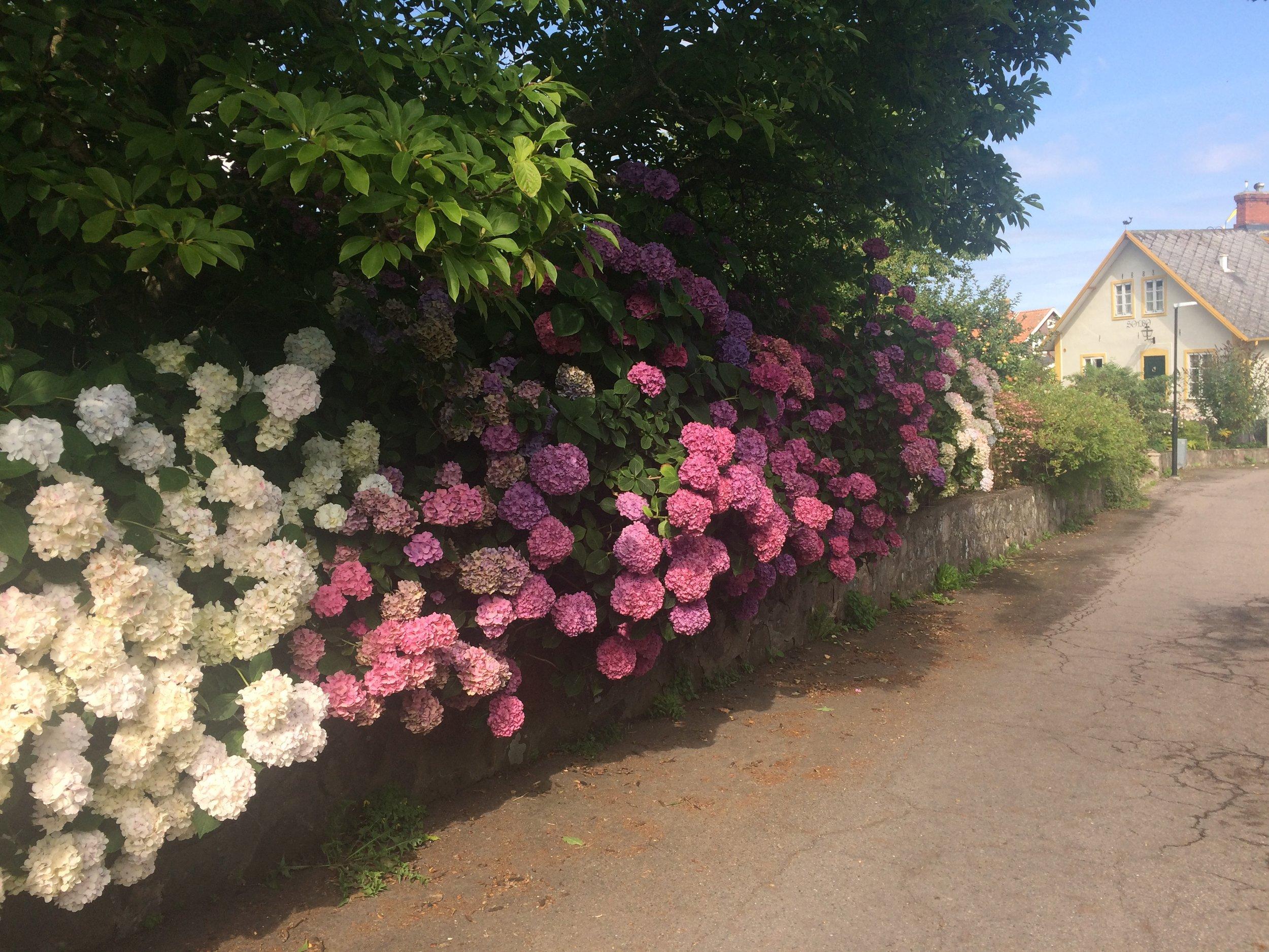 Hortensia-heaven