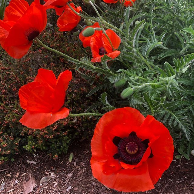 Currently obsessed with all of the poppies blooming in my neighborhood.