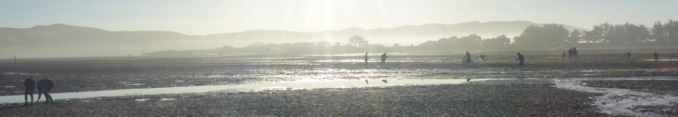 Fig: We're not the only ones up early collecting stuff from the mudflats of Bodega Harbor.  Dozens of folk are digging up invertebrates—worms, crustaceans—that live in the sediment, and birds are nearby.