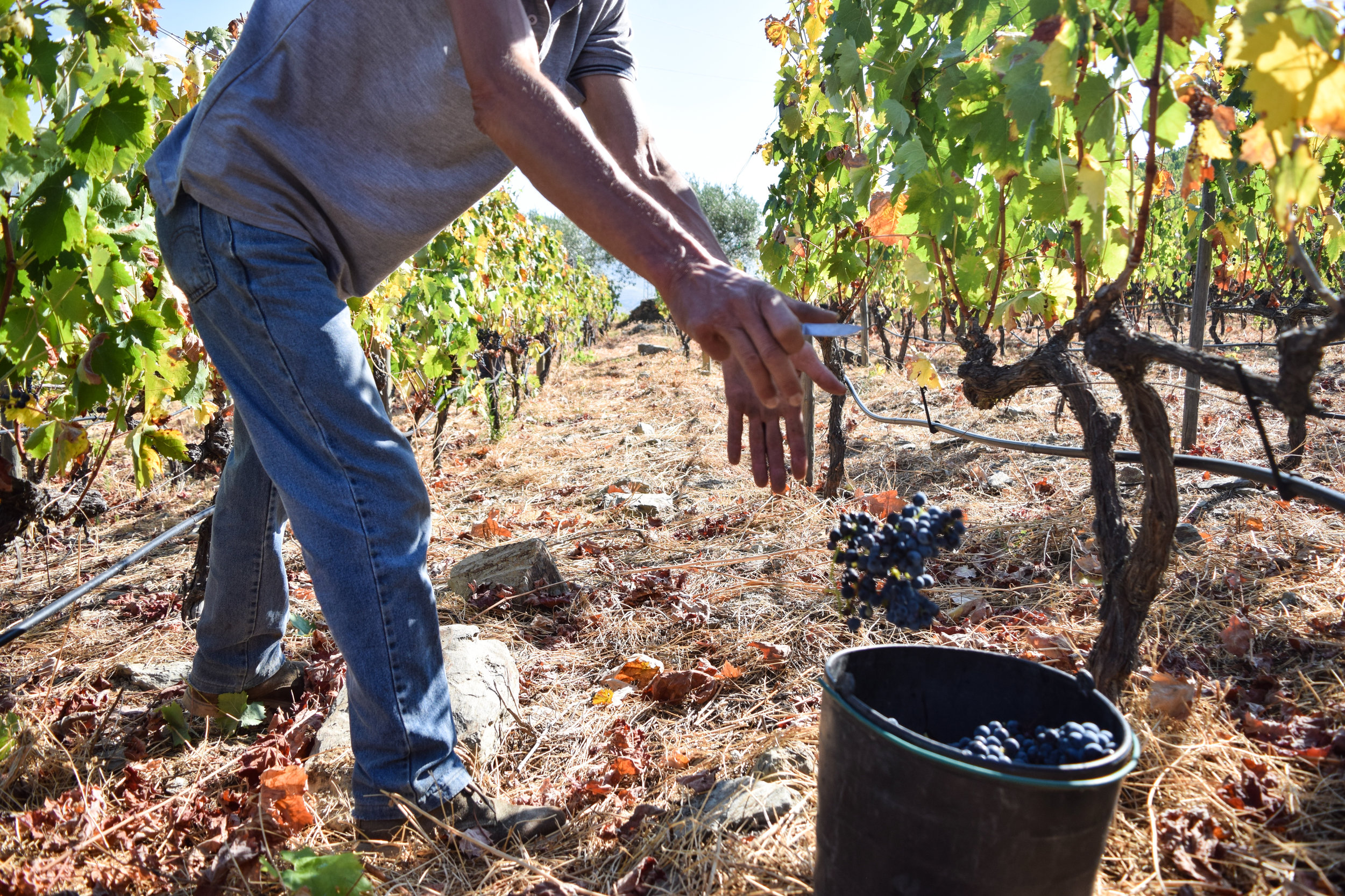 picking_grapes_douro_river_region_wine_quinta_do_tedo