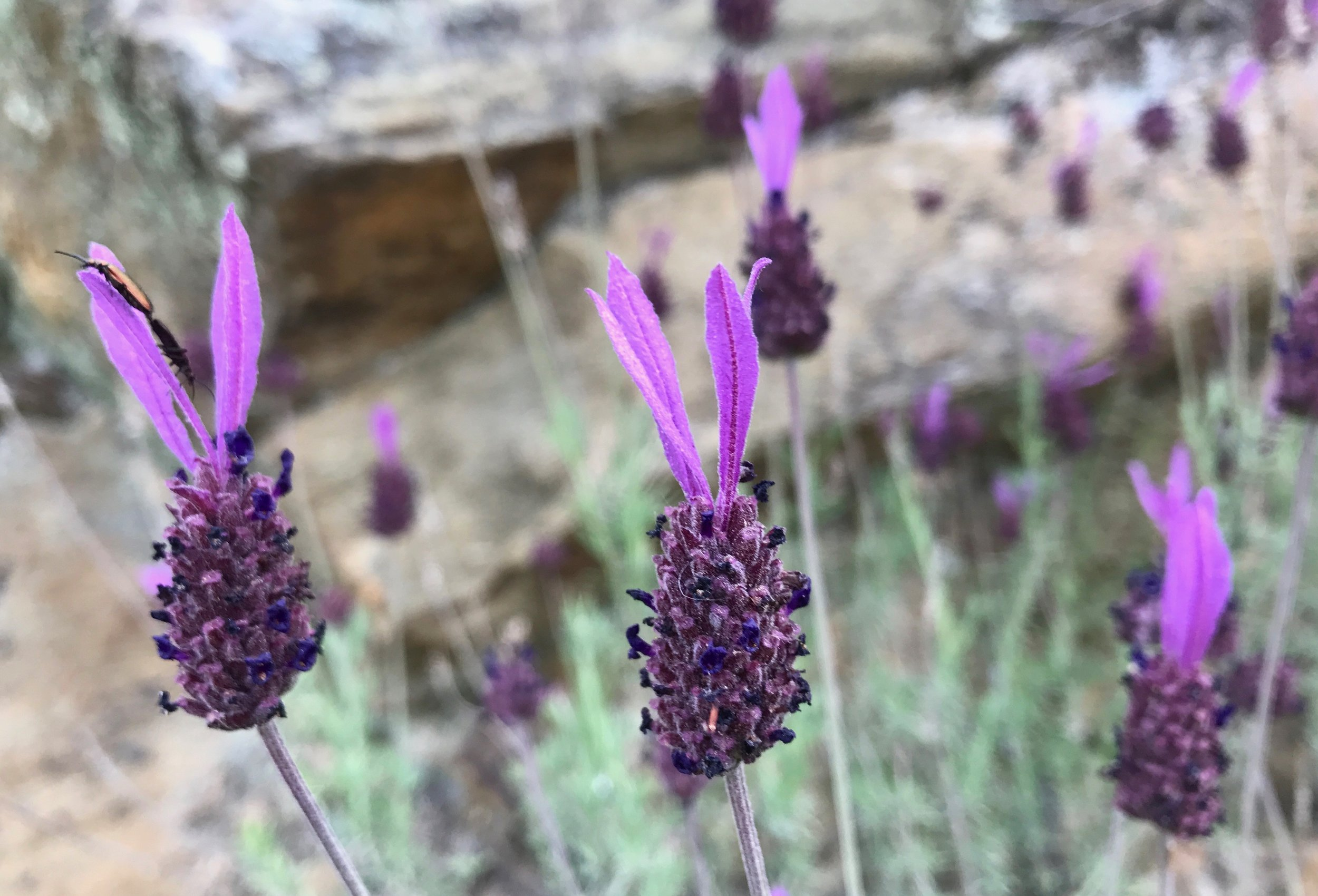 "5 subspecies of  Lavendula pedunculata  grow in Portugal, and attract good ""auxiliary fauna"", such as butterflies and bees, that ward off pests."