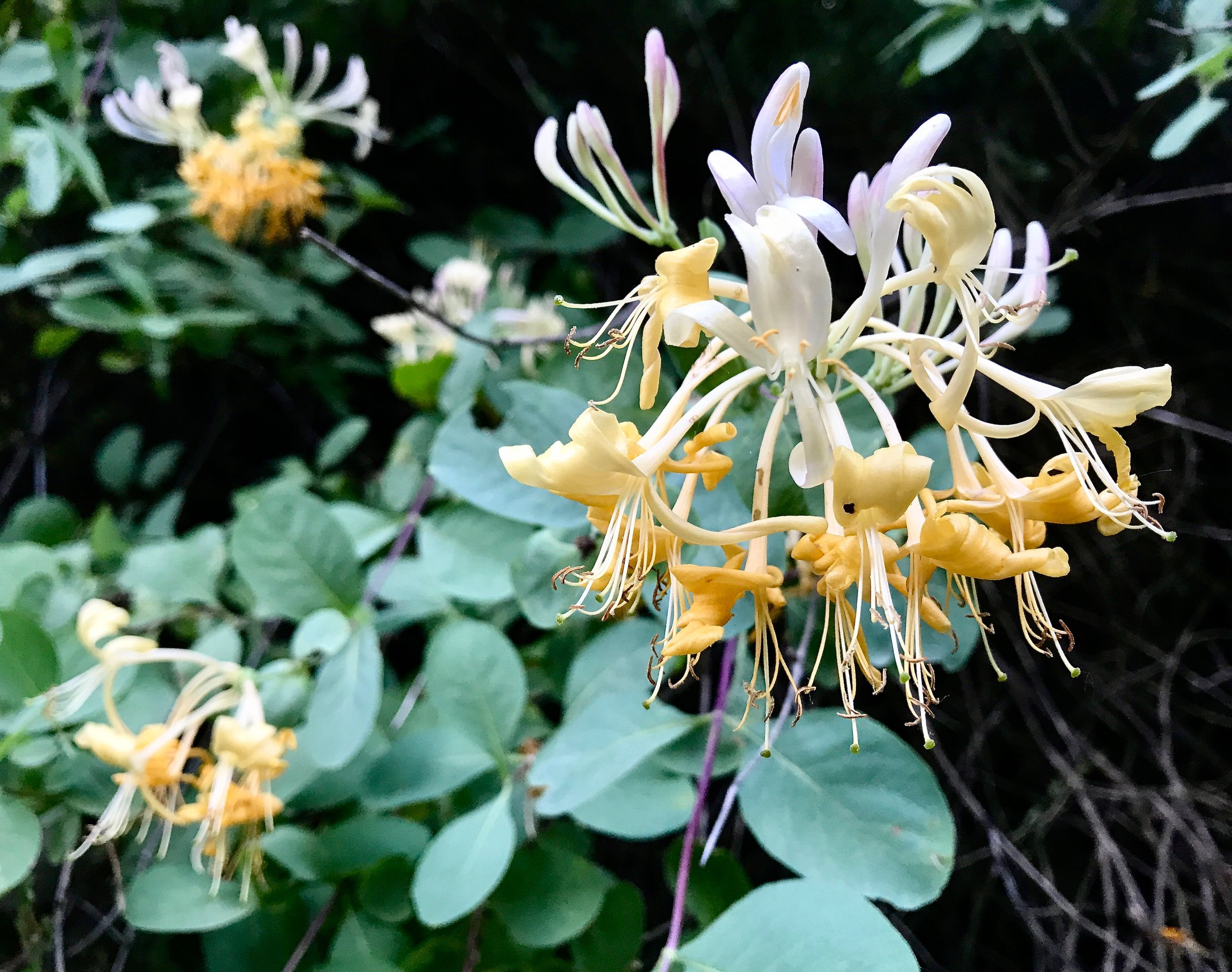 Honeysuckle ( Lonicera etrusca ) attracts many beneficial pollinators with its beautiful smell and appearance. The English used to plant it outside their houses to ward off evil spirits and bury it under their pillows to induce sweet dreams.