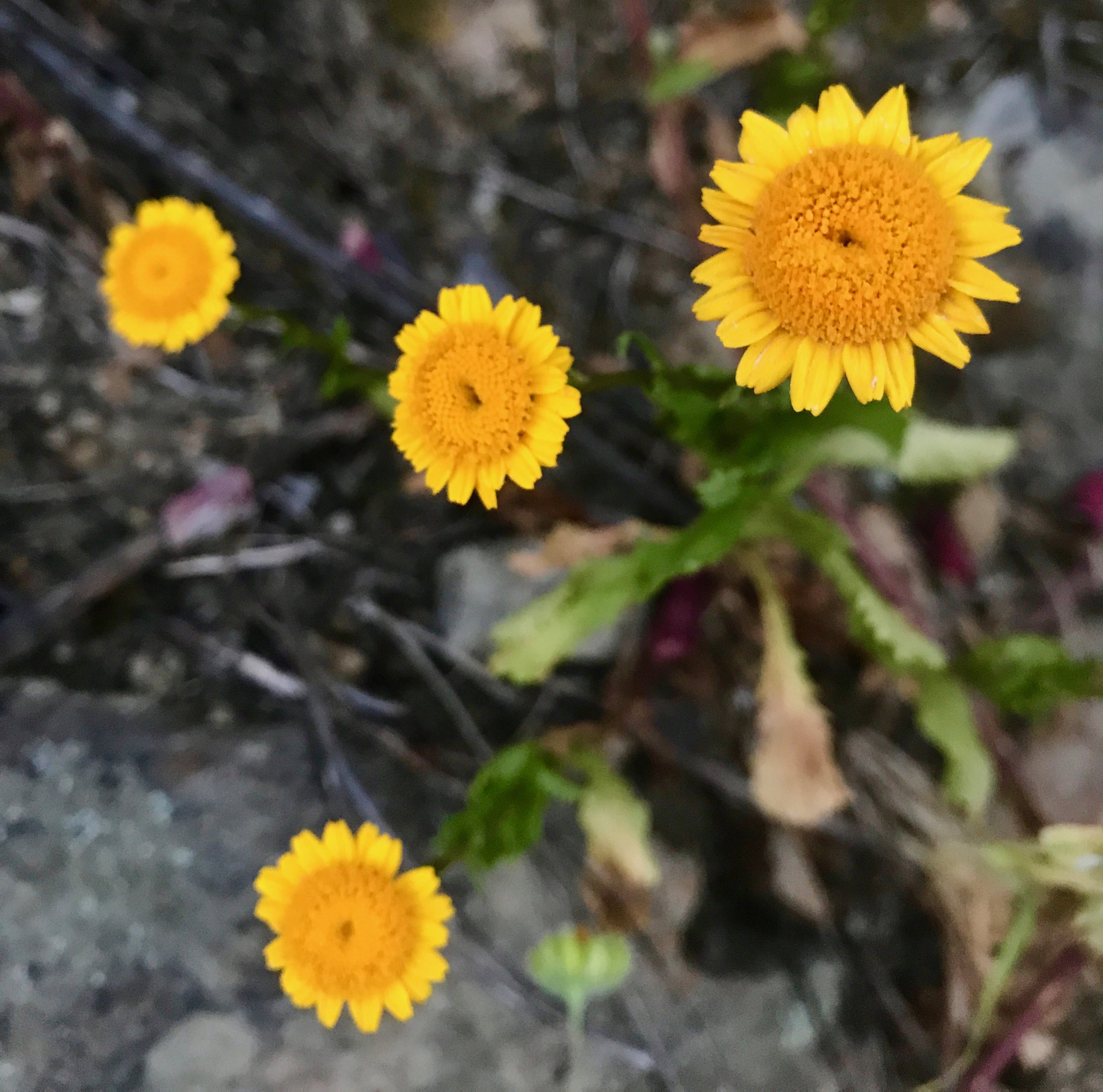 Wild marigold ( Calendula arvensis ) grows in abundance and is a medicinal herb used to treat skin inflammations. Add its edible petals to your salads for a tasty bit of color!